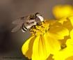Hoverfly on Brittlebush