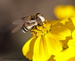 Hoverfly on Brittlebush