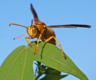Polistes Wasp