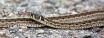 Black-necked Garter Snake