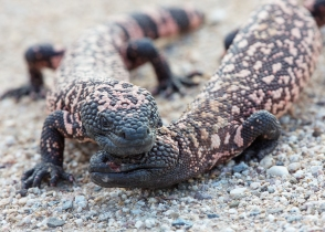 Gila Monster Sumo