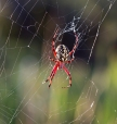 Orb Weaver at Dawn