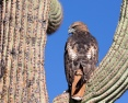Red-tailed Hawk at Sabino Canyon