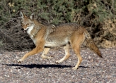 Coyote on the Run