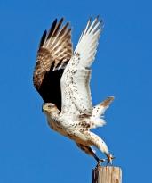 Valkyrie (Ferruginous Hawk)