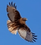 Rufous Red Tail