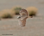 Burrowing Owl in Flight