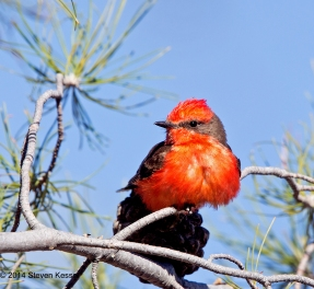 Vermillion Flycatcher
