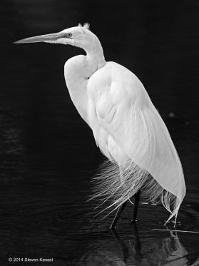 Egret In Squall