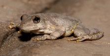 Canyon Tree Frog