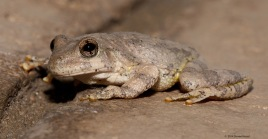 Canyon Tree Frog
