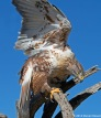 Free Flight Ferruginous