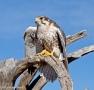 Desert Museum Prairie Falcon