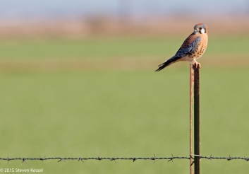 Kestrel on a Fence