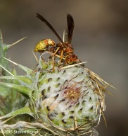 Wasp on Thistle