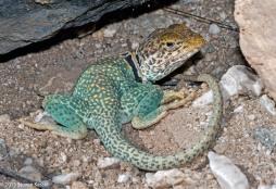 Eastern Collared Lizard