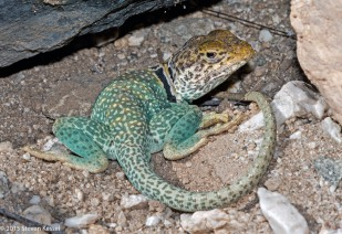 Eastern Collared Lizard