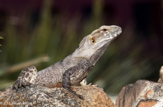 Spiny-tailed Iguana