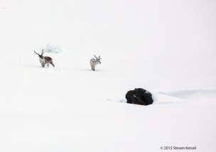 Reindeer in the Snow