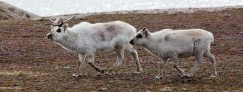 Reindeer on the Run