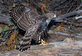 Fledgling Cooper's Hawk with Breakfast