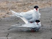 Terns in Love