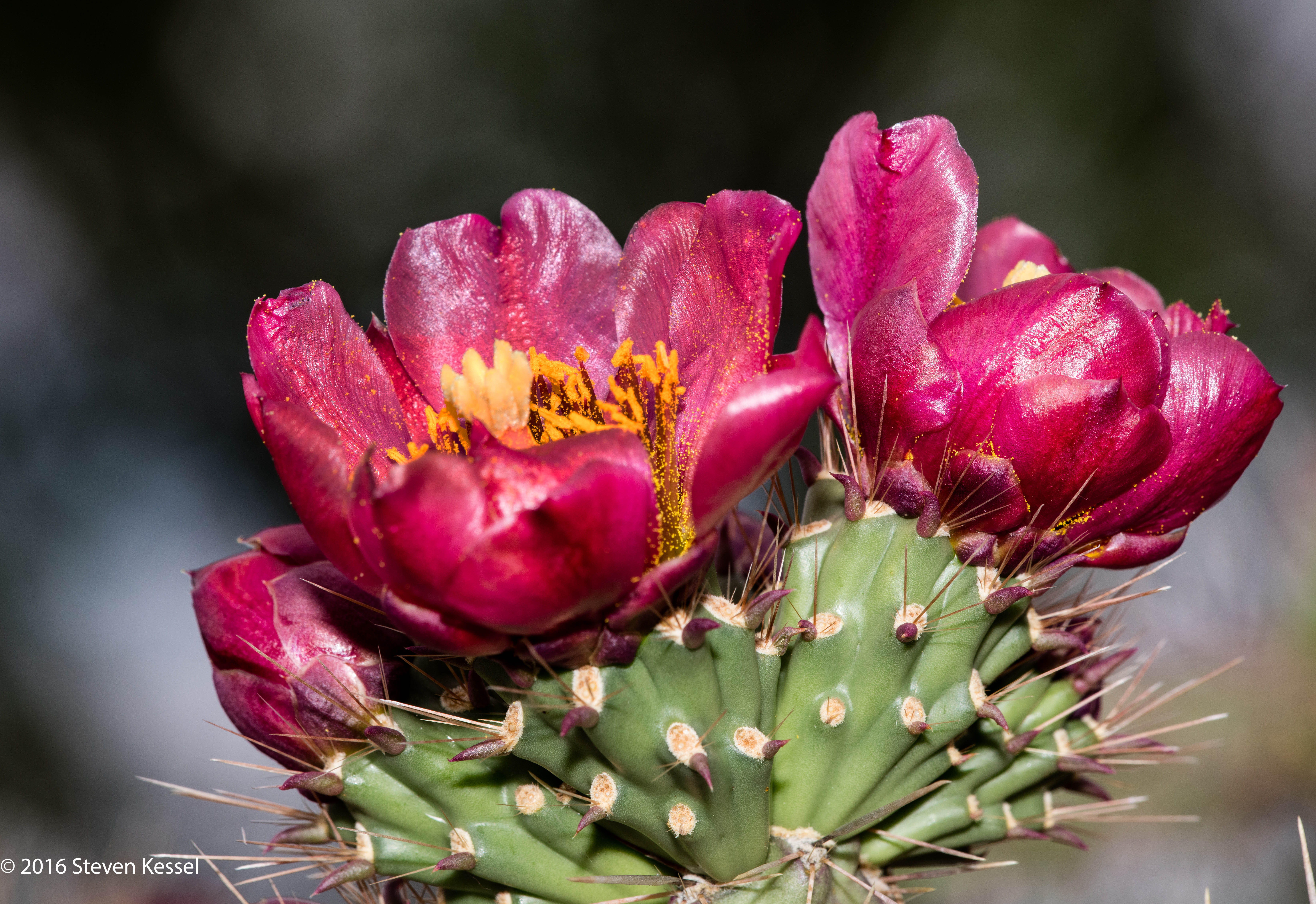 Staghorn Cholla In Bloom | Sonoran Images