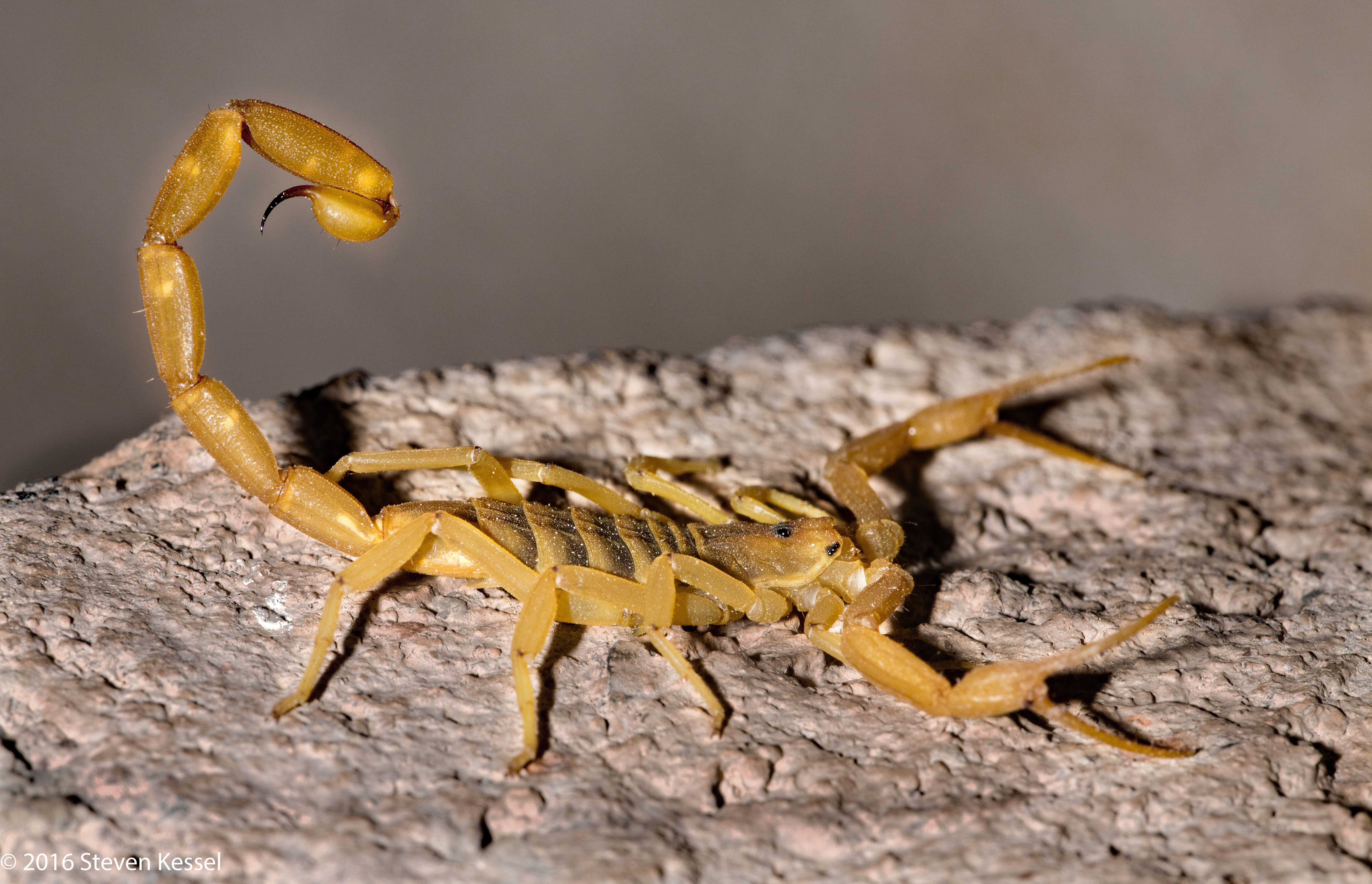 Striped-Tailed vs  Bark Scorpion | Sonoran Images