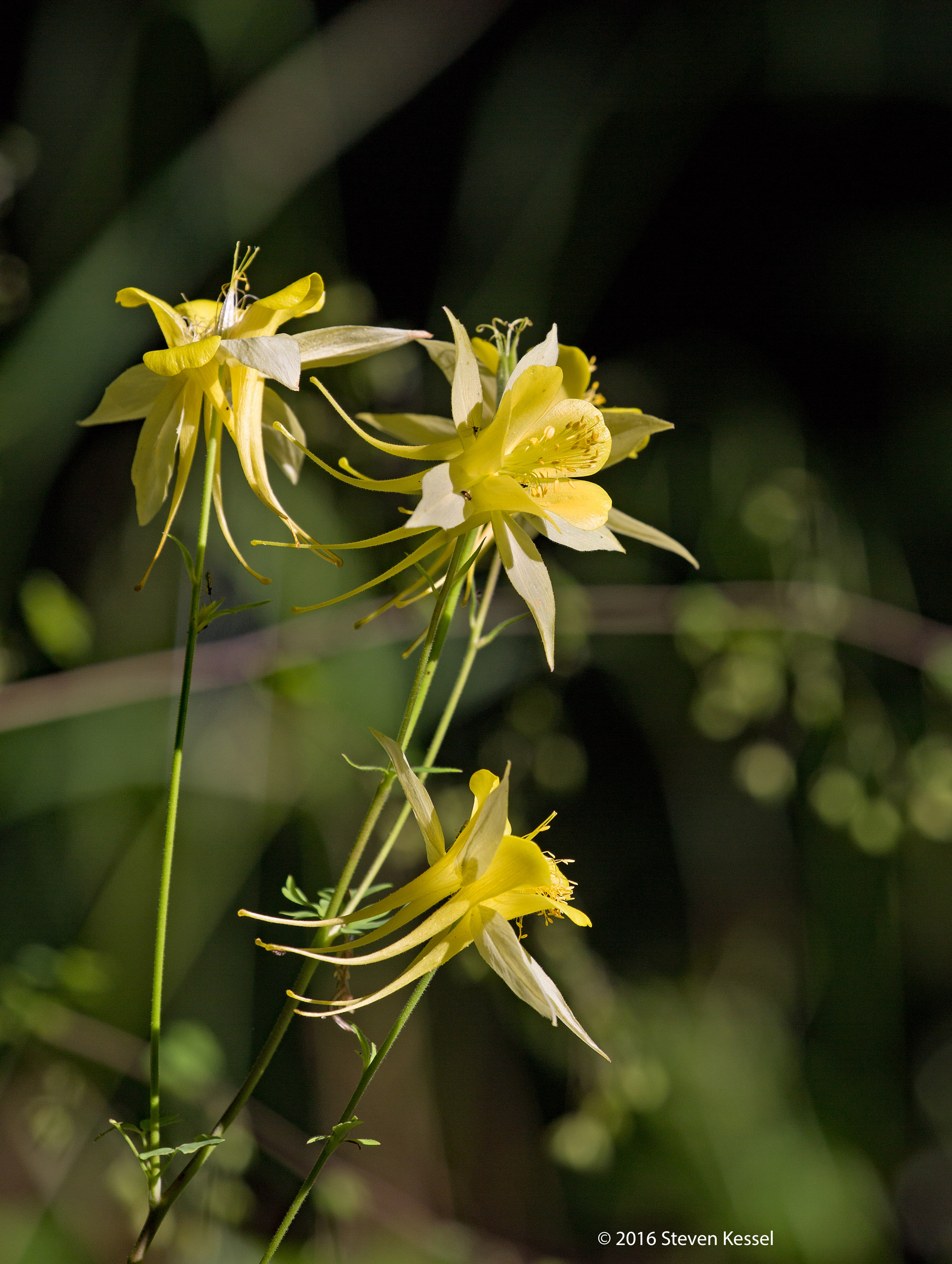 The wildlife of mt lemmon columbine sonoran images columbine is a species of non native plant non native in the sense that it first arrived in north america sometime between about 10000 and about 40000 izmirmasajfo
