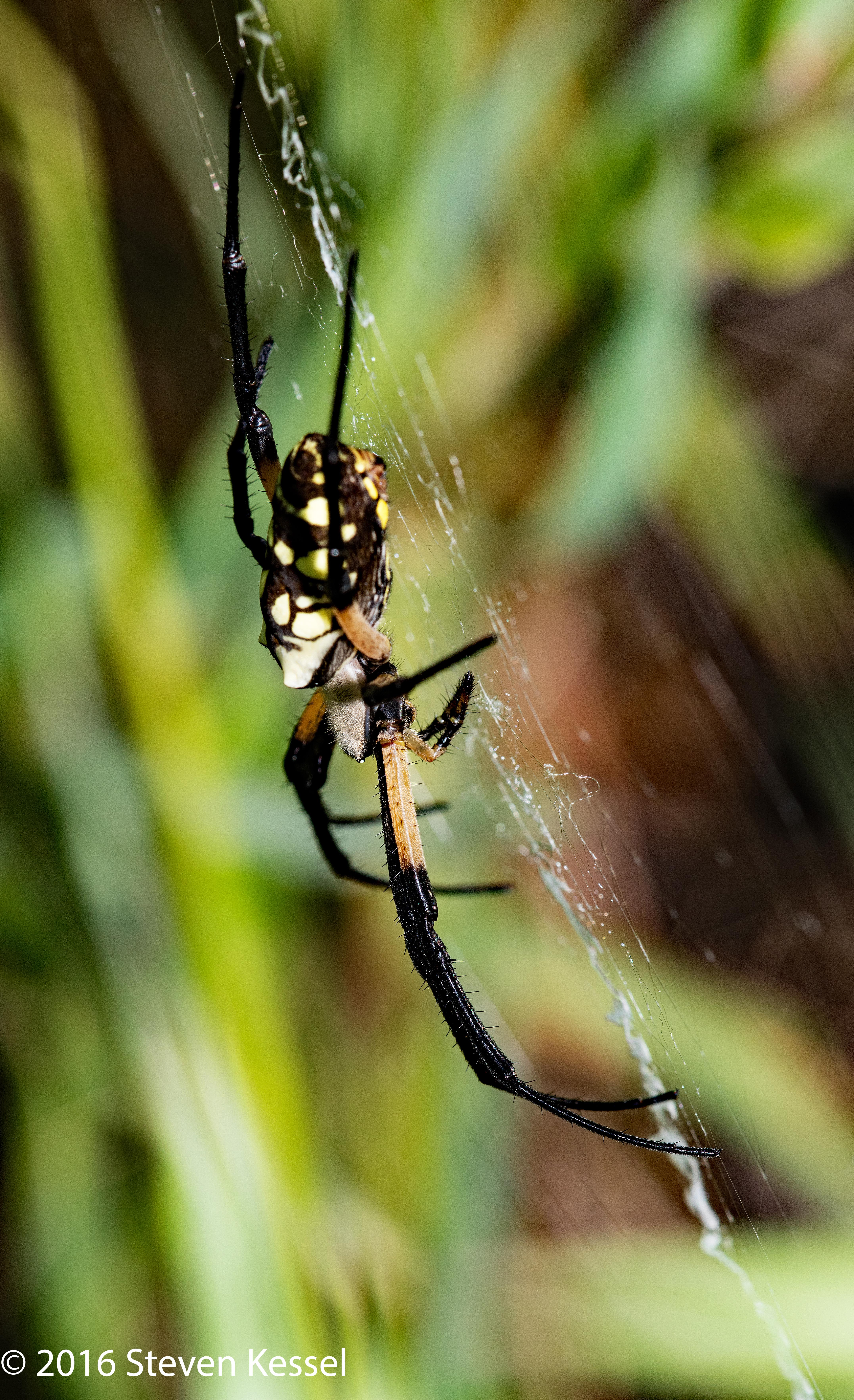 Black-And-Yellow Garden Spider | Sonoran Images