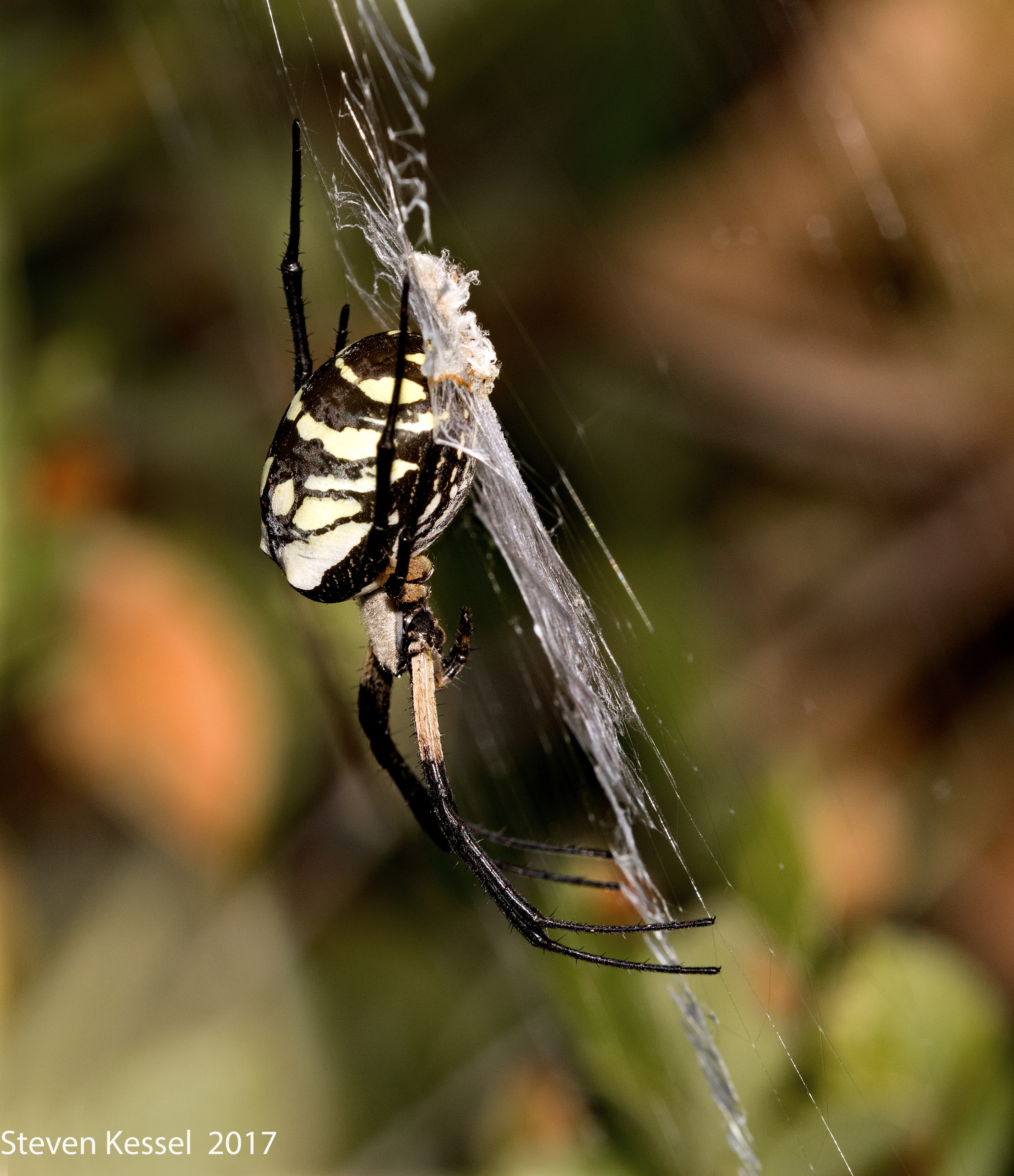 Black And Yellow Garden Spider | Sonoran Images